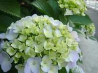 紫陽花 2009